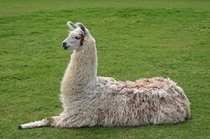 320px-Llama_lying_down